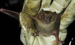 Casos de ataques de morcegos reduzem em 26% no Amazonas