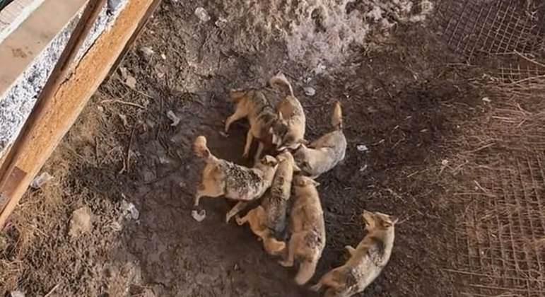 Lobos devoram cão doméstico: veja vídeo
